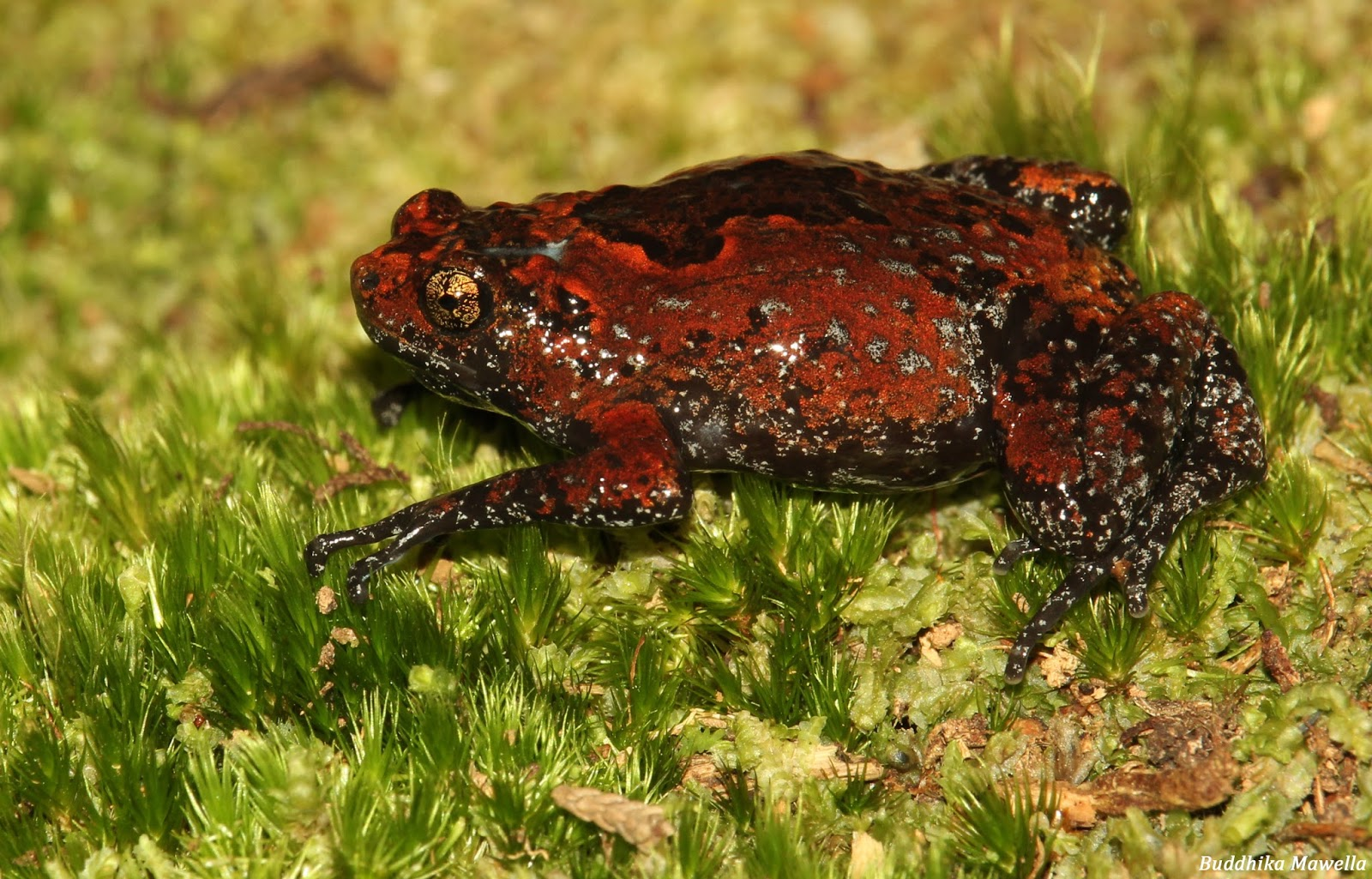 an overview of the frog Australia and new guinea have a high diversity of frogs currently 208 australian  species are formally recognised although some await description.