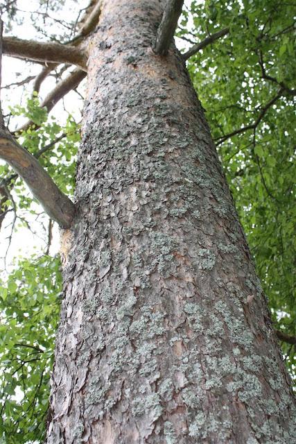 mänty, honka, petäjä, Pinus sylvestris