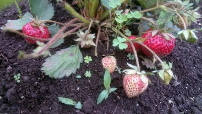 イチゴに土が付きました