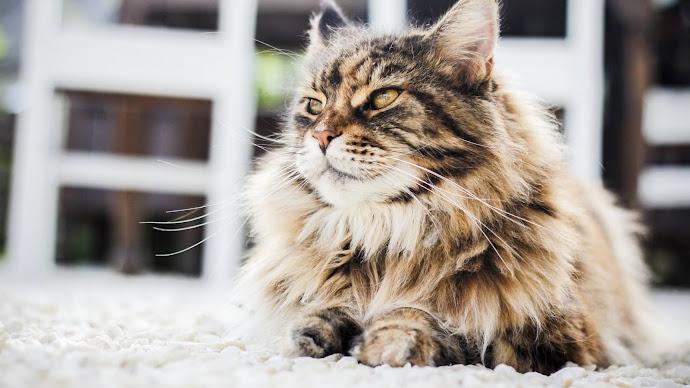 Wallpaper: Persian cat