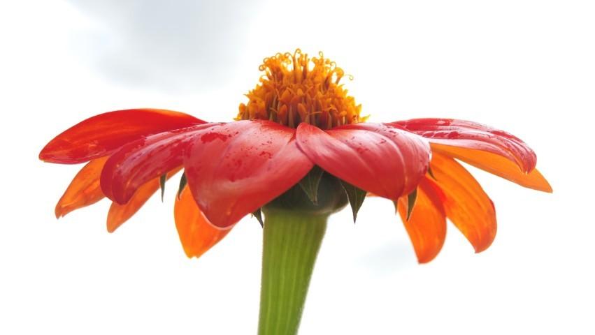 flor roja con amarillo hermosa linda