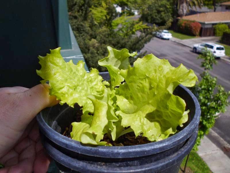 1 gallon lettuce plant