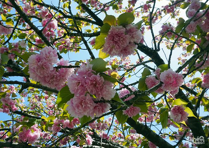 福岡の八重桜