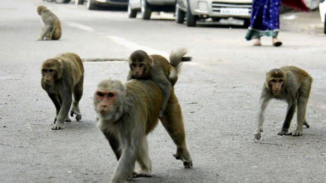 Incredibile: Scimmia rapisce e uccide neonato in India