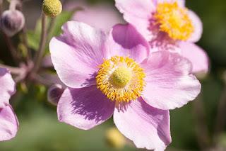 arti bunga anemon