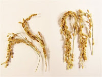 In addition to a near elimination of greenhouse gases associated with its growth, SUSIBA2 rice produces substantially more grains for a richer food source. The new strain is shown here (right) compared to the study's control. (Image Credit: Swedish University of Agricultural Sciences) Click to Enlarge.