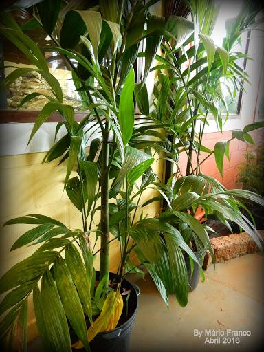 PALMEIRA ARECA TRIANDRA - ( Areca triandra )