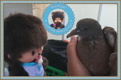 Baby le bebichhichi et Colombine le bébé pigeon - oisillon - pigeonneau - oiseau