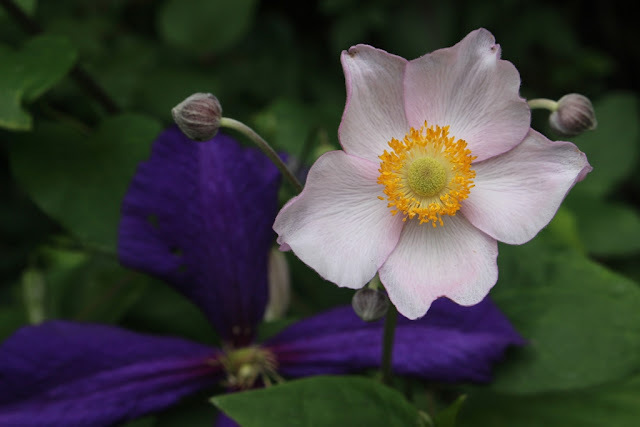Japanese anemone and Clematis jackmanii
