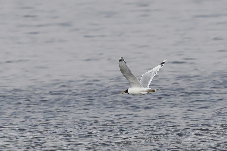 Great Black-headed Gull