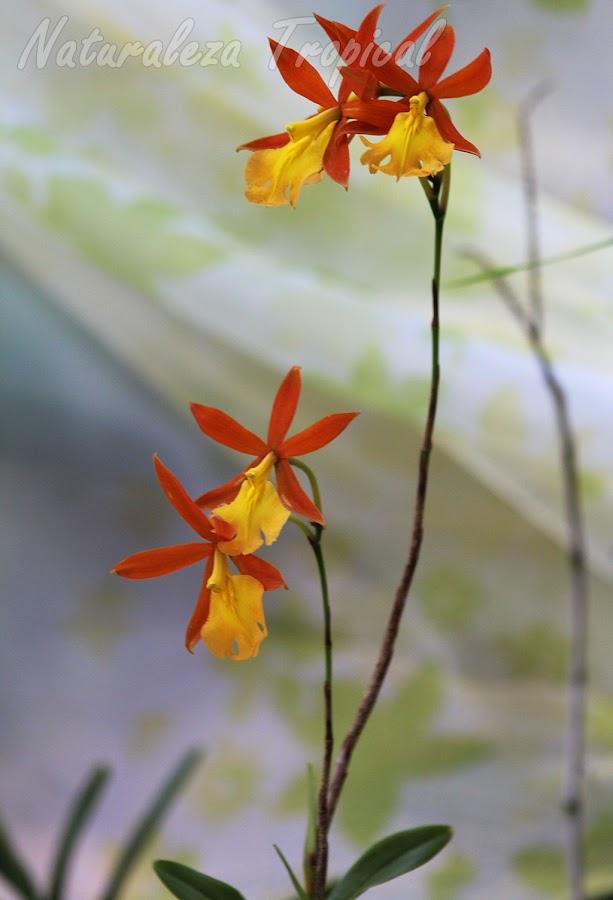 Disposición de las flores de la exótica orquídea Epidendrum `Orange Blaze´ en el extremo del tallo floral