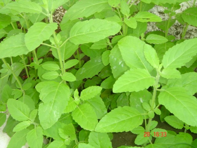 How to use tulsi leaves for cough