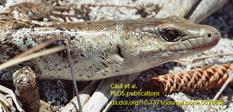 Bocourt's Terrific Skink is endemic to New Caledonia island — image from Caut et al. (2013) research, available on PLOS One