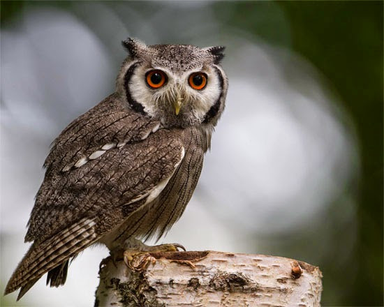 Coruja Transformer - Ptilopsis leucotis - Northern white-faced owl