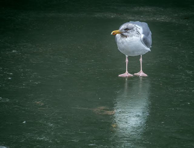 Photo of another seagull walking on the ice at Maryport Marina