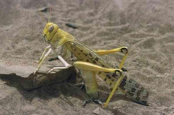 Locusts-جرادة