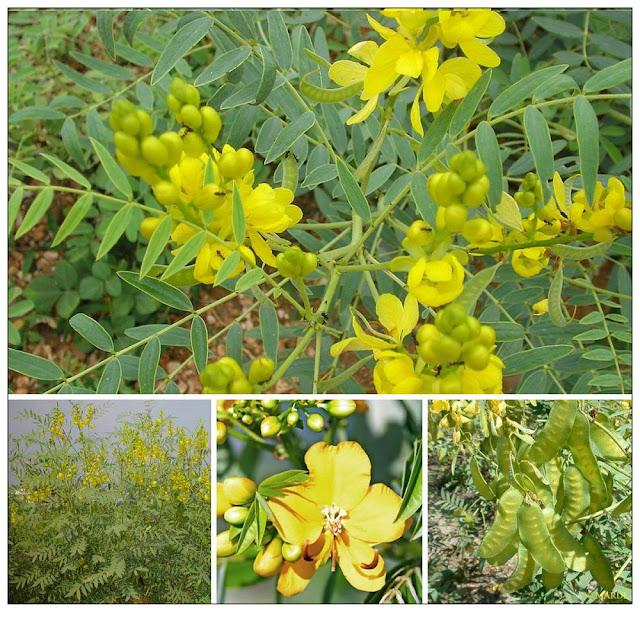 Phan Tả Diệp - Cassia acutifolia - Cassia angustifalia - Nguyên liệu làm thuốc Nhuận Tràng và Tẩy