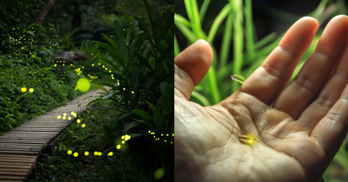 2,000 Firefly Species Are Facing Extinction, According To Scientists