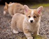 The 30 Cutest Corgi Puppies of All Time