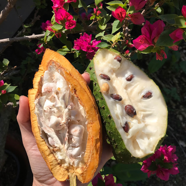 fresh cacao soursop cut open cacao seeds tropical fruit