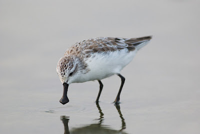 Spoon-billed Sandpiper – World Migratory Bird Day