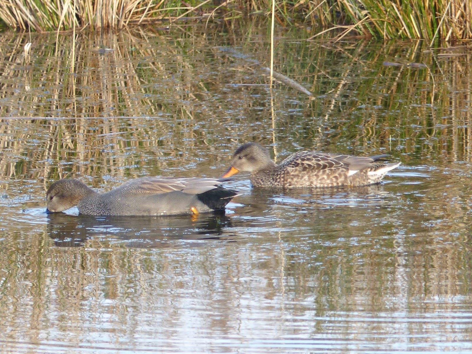 wildlife at willey warks th feb touch of frost chilly cormorants were present looking fine in their breeding plumage
