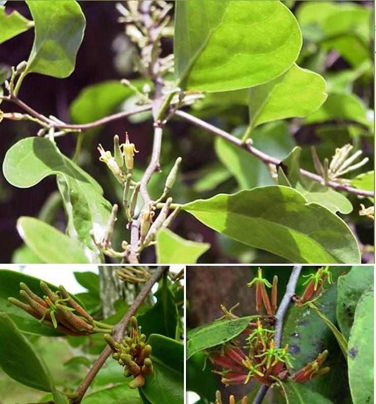 Indo Nesian Tradisi Onal Medicine Suruhan Obat: Traditional Indonesia Medicine : Parasit Plant (Loranthus