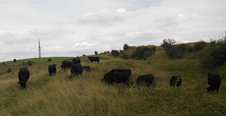 Cows grazing on hill