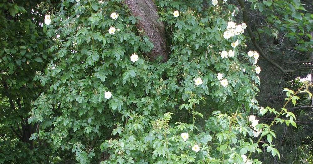 Klettergerüst Rosen : Tolle gartentipps: rankgerüste und kletterhilfen für rosen