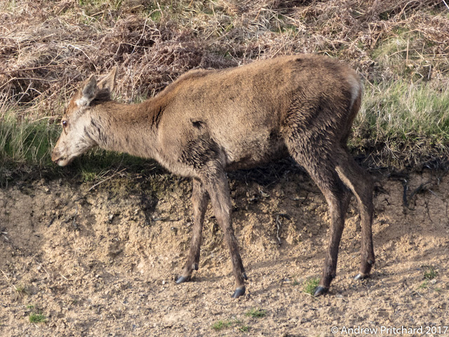 The hoof and dew claws of a grazing deer visible as it grazes on the edge of an area of eroded hillside.