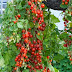 The best tomato varieties to grow in baskets #Container_gardening