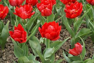 Tulipe double hâtive Abba - Tulipa Abba - Tulipe Abba