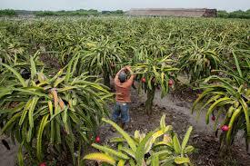 http://tipspetani.blogspot.com/2018/03/tips-petani-mengatasi-tanaman-buah-naga.html