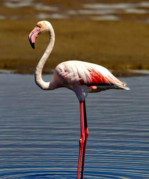 Indian bird - Greater flamingo - Phoenicopterus roseus