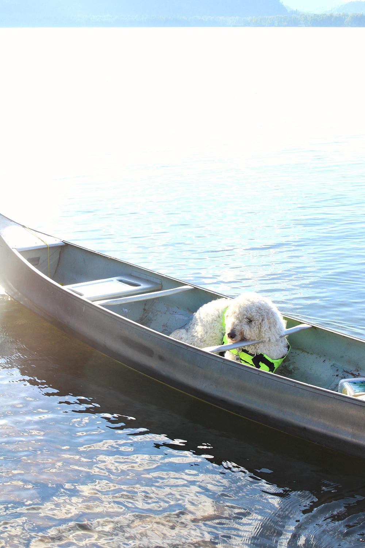 Komondor in a canoe