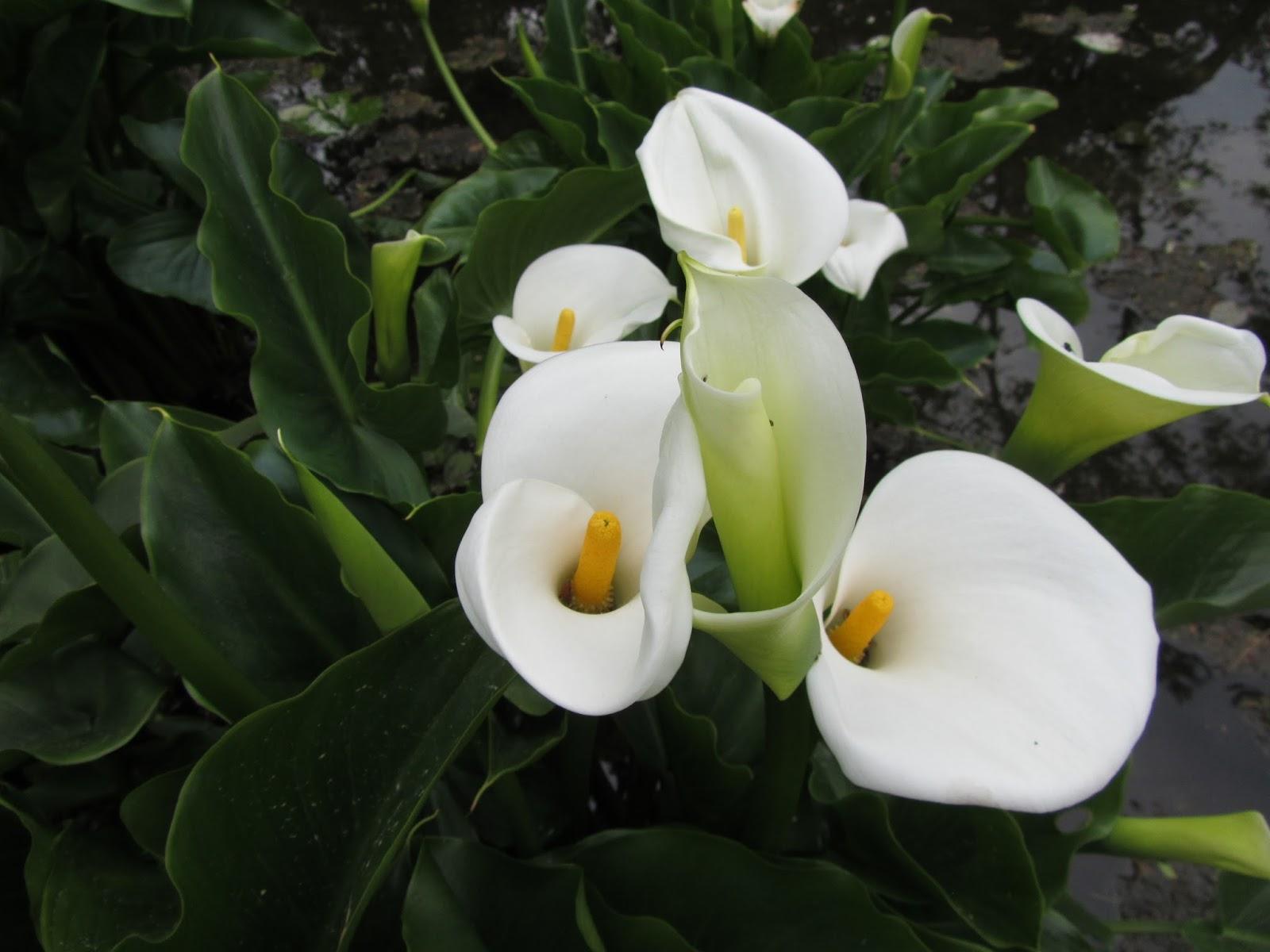 Quali Bulbi Piantare In Primavera il gusto della natura: dove piantare le calle (zantedeschia