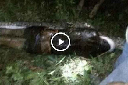 Innalillahi! Ini Video Pria Ditelan Ular Hidup-hidup Saat Memanen Sawit di Sulawesi