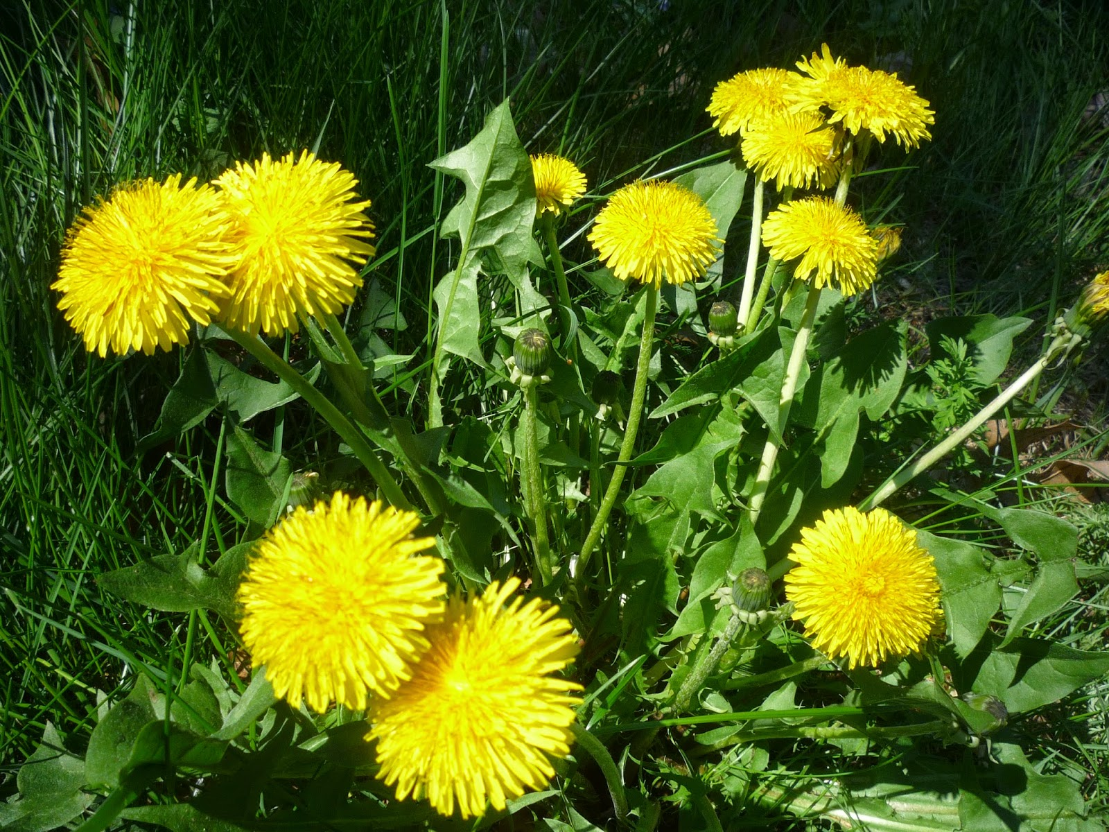 Dandelions Are Good For You And Your Soil Vermont South