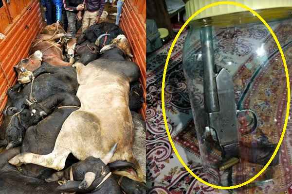 nuh-police-and-bajrang-dal-caught-one-gau-taskar-11-cow-truck