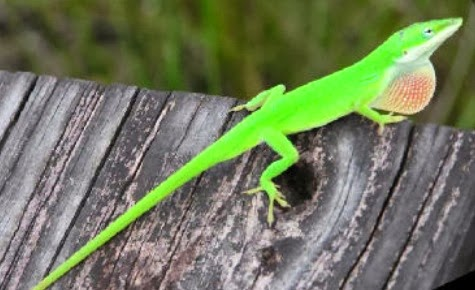 The Animal Rescue And Rehab Center Green Anole Anolis