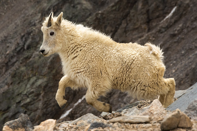 Yearling Mountain Goat, Grays Peak
