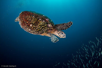 Photo of a hawksbill sea turtle