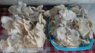 jamur tiram-Visiuniversal-Budidaya-Jamur-Tiram