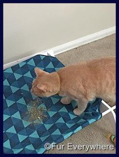 Figgy eats some treats off his hammock.