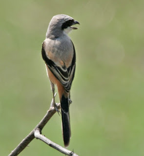 Burung Cendet - Penjodohan Burung Cendet yang Inbreeding Harus Dihindari - Penangkaran Burung Cendet