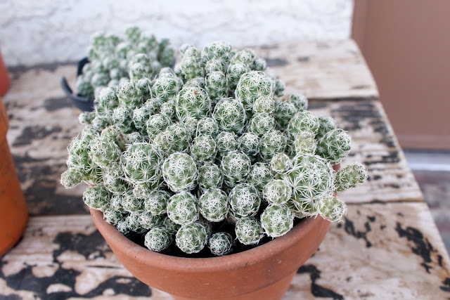 A photo of ornamental thimble cactus