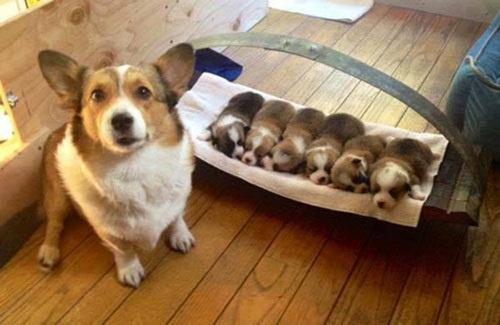 Cách chăm sóc chó mẹ, chó sơ sinh