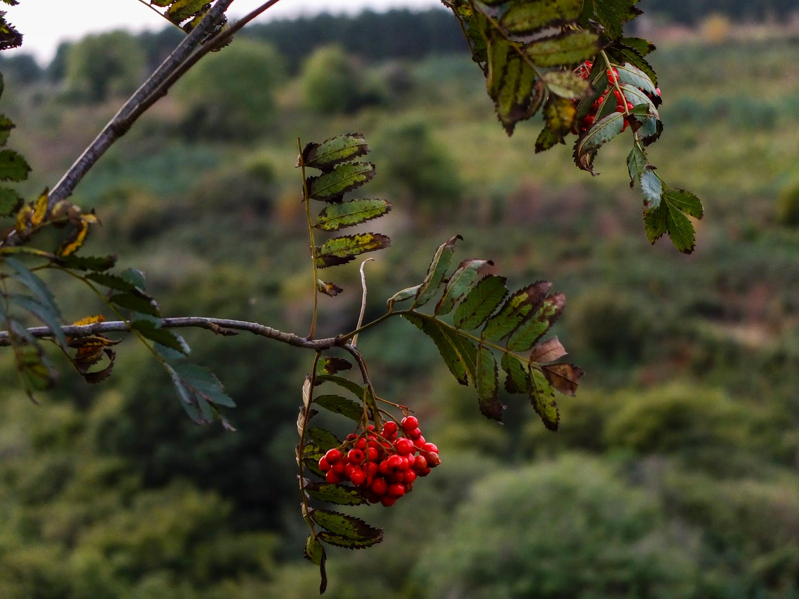 Red Mountain Ash tree berries hanging off a branch with browning leaves.