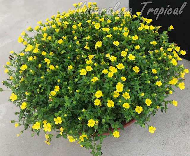 Vista del cultivar 'Poty Amarilla INTA' de una especie del género Mecardonia en maceta