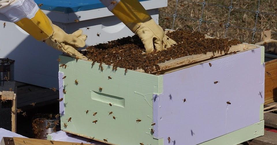 Le api sono in pericolo? i dati dicono tutt' altro